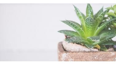 aloe-vera-bitki-bakim-kilavuzu