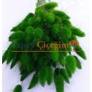 Yeşil Pamuk Otu - Kuru Çiçek - Lagurus 1709