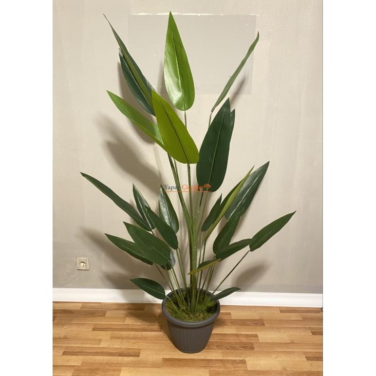 Starliçe  Ağacı - Muz Ağacı - 160 cm Kaliteli